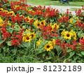 三陽メデアフラワーミュージアム前庭のヒマワリと赤いサルビア 81232189