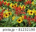 三陽メデアフラワーミュージアム前庭のヒマワリと赤いサルビア 81232190
