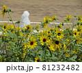 三陽メデアフラワーミュージアム前庭のヒマワリ 81232482