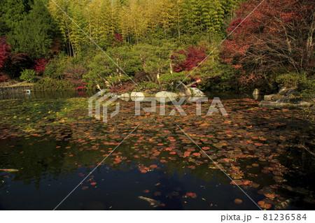 広島県三原市三景園の紅葉 睡蓮の池の鯉 81236584