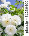 上品な白い薔薇 81239400