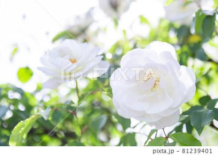 優しい白い薔薇 81239401