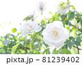 柔らかい光に溶け込む白い薔薇 81239402