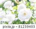 たくさんの白い薔薇 81239403