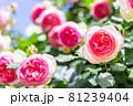 オシャレに咲く赤い薔薇 81239404