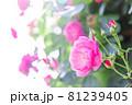 柔らかく咲く赤い薔薇 81239405