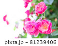きれいな赤い薔薇 81239406