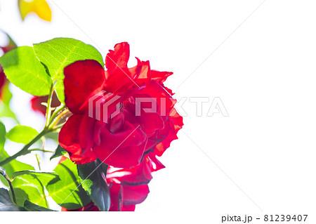 深紅の薔薇 81239407