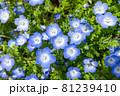 沢山のネモフィラの花 81239410