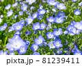 爽やかに咲くネモフィラ 81239411