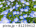 ネモフィラの沢山の花 81239412