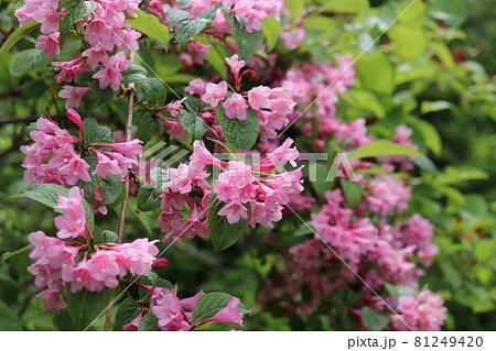 斑尾山で咲くピンクのタニウツギの花 81249420