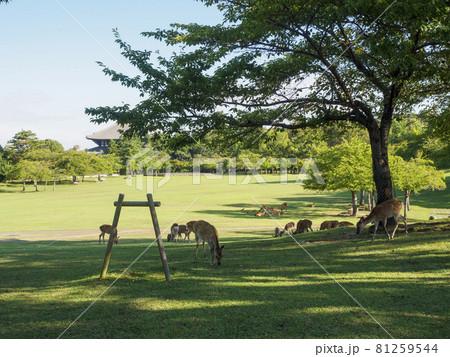 【奈良公園】日影で食事をする鹿の群れ 81259544