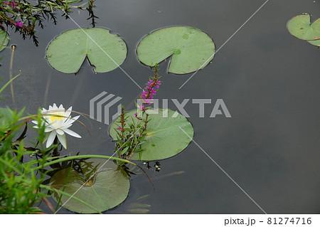 高知県幡多郡三原村星ヶ丘公園のミソハギと白スイレンの花 81274716