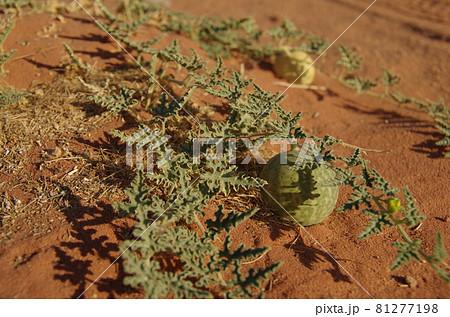 【ヨルダン】ワディラム、砂漠の中で生える実がなった植物 81277198