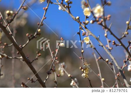 三徳園の白梅の花と新春の空 岡山県岡山市東区 81279701