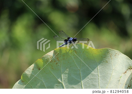 蓮の葉の先にとまるシオカラトンボ 81294058