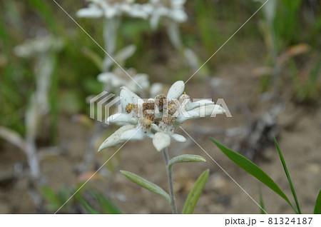 礼文島の高山植物レブンウスユキソウ 81324187