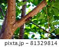 日本の夏の代名詞 アブラゼミ 81329814
