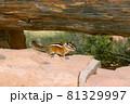 アメリカの渓谷ブライスキャニオン国立公園で出会った野生のリス 81329997