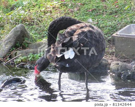 コクチョウと鯉/宮崎フェニックス自然動物園 81342644
