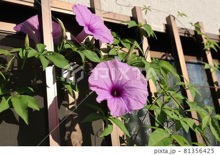 家の窓の柵に咲く薄い赤紫のあさがおの花 81356425
