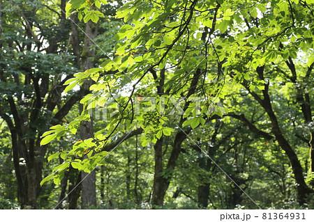 真夏に青々と茂る山奥の大木 トチノキ 81364931