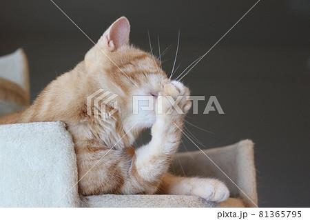 キャットタワーで肉球をペロペログルーミングする猫アメリカンショートヘアレッドタビー 81365795