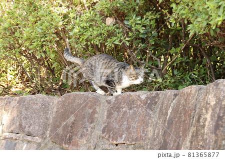 石垣の上で狙いを定めて獲物を狩るポーズのキジ猫 81365877
