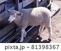 羊 81398367
