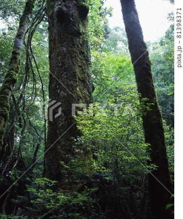 屋久島の森 81398371