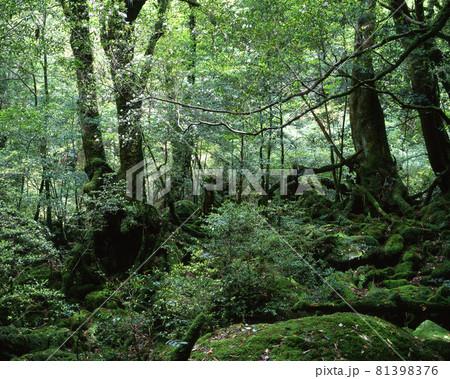 屋久島の森 81398376