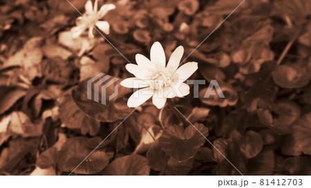 セピア調の世界(一輪の花のある風景) 81412703