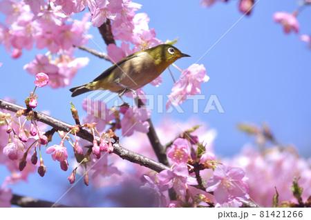 河津桜の枝からジャンプするメジロ 81421266