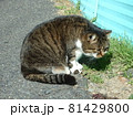獲物をじっと見つめる猫 81429800