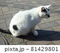 じっと見つめる猫 81429801