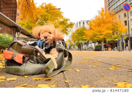 神奈川県横浜市に有る日本大通りの秋の風景と仔犬 81447180