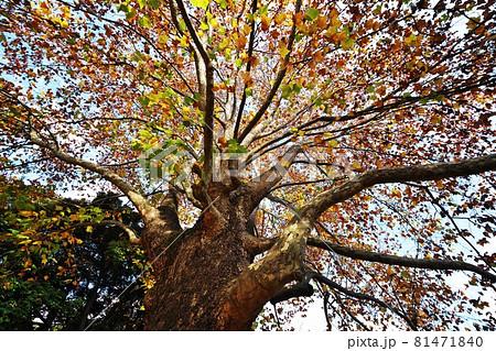 巨大な広葉樹の鮮やかな紅葉 プラタナス(アメリカスズカケノキ) 81471840