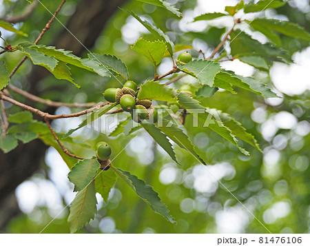 コナラ属の木の枝に付いた緑色のドングリ 81476106