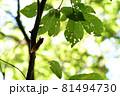 夏のイメージ 木にとまったアブラゼミ 81494730
