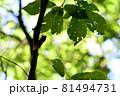 夏のイメージ 木にとまったアブラゼミ 81494731
