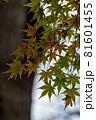 まだ青いモミジの葉 と木(縦型) 81601455