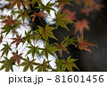 下から見上げたもみじの葉っぱ 81601456
