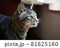 表情に怒りと憤りを滲ませる猫 81625160
