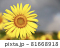 一輪の向日葵のクローズアップ 81668918