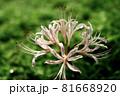 白い彼岸花のクローズアップ グリーン背景 81668920