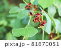 トキリマメの種子 81670051