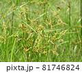 カヤツリグサ科の植物「ハマスゲ」の花 81746824