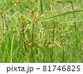 カヤツリグサ科の植物「ハマスゲ」の花 81746825
