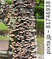 広葉樹の枯れ木に群生する「ハカワラタケ」 81746938
